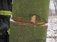 Úmyslně naříznutý strom hrozil pádem na komunikaci